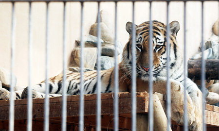 A three-year-old Siberian tiger sits at its cage in Seoul Zoo in Gwacheon, Gyeonggi Province, Sunday. The male tiger briefly walked out of the unlocked cage and bit a trainer, who was about to feed him, in the neck. / Yonhap