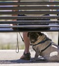 A pug dog rests under the shade of her owner's bench. (AP)