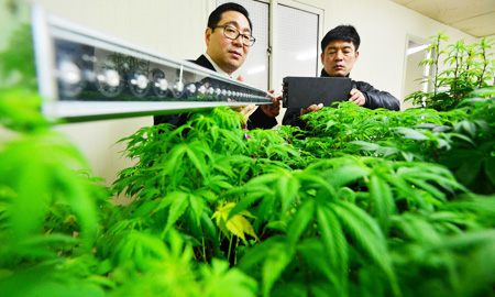 Police take a photo of marijuana plants, found at a house in Seoul earlier this year. A simple online search can connect potential buyers from Korea with sellers of illegal drugs, which is increasingly becoming a problem. (Korea Times file)