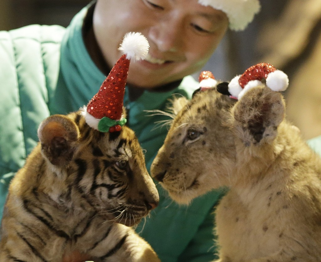 A baby lion named Do Min-jun, right, and a baby tiger named Jang Bo-ri wear Santa Claus caps during an event to celebrate Christmas at the Everland amusement park in Yongin, South Korea, Tuesday, Dec. 23, 2014. (AP Photo/Ahn Young-joon)