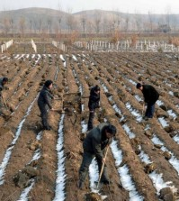 North Korean workers planting seedlings on a field in Jaeryong, South Hwanghae Province, on Jan. 24, 2015. (KCNA/Yonhap)