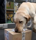 A customs official lets a drug-sniffing dog check a package at Incheon International Airport, west of Seoul, on May 7, 2015. (Yonhap)