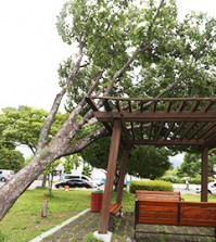 A 50-year-old zelkovo tree in a village in Changwon, South Gyeongsang Province, falls due to Typhoon Chan-hom, Monday. The weather agency forecast that another typhoon will approach over the weekend. (Yonhap)