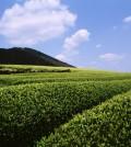 AmorePacific's green tea garden in Jeju Island. (Facebook/AmorePacific)