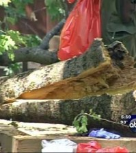 This frame made from a video provided by KFSN-TV-abc30 shows a portion of an oak tree that split away, falling to the ground and killing two young campers in a tent at the Upper Pines campground in Yosemite National Park, Calif., Friday, Aug. 14, 2015. Park spokesman Scott Gediman declined to release the ages or any details about the two, describing them only as under age 18. (KFSN-TV-abc30 via AP)