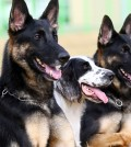Two cloned dogs, Nara, left, and Dasol pass test to become rescue dogs. (Yonhap)