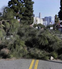 A large tree lies across a street after being blown over by high winds near downtown Los Angeles on Monday, Nov. 16, 2015. The winds followed a front that moved through California during the weekend, dropping rain and snow while lowering temperatures.  (AP Photo/Nick Ut)
