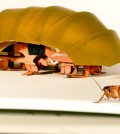 This photo provided by PolyPEDAL Lab UC Berkeley, shows the compressible robot, CRAM with a real cockroach. When buildings collapse in future disasters, the hero helping rescue trapped people may be a cheap robotic roach. Repulsive as they seem, cockroaches have the unusual ability to squish their bodies down to one quarter their normal size, yet still scamper at lightning speed. Add to that, the common roach can withstand 900 times its own body weight without being hurt. That's the equivalent to a 200-pound man who wouldn't be crushed 90 tons on his head. (PolyPEDAL Lab UC Berkeley/Tom Libby, Kaushik Jayaram and Pauline Jennings via AP)