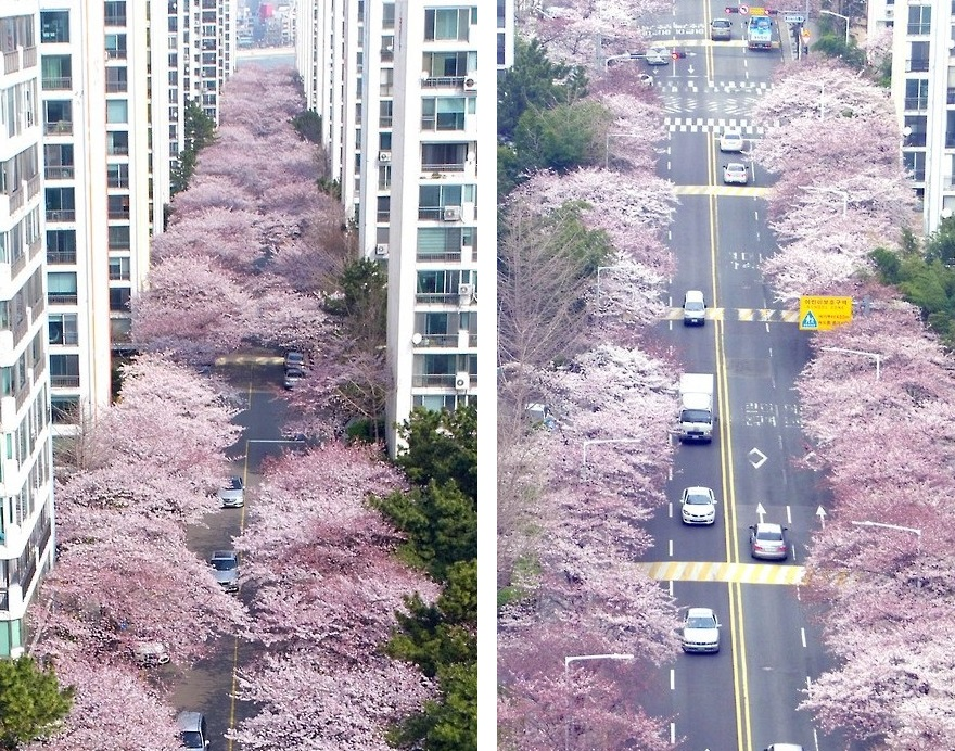 Cherry Blossoms Bloom In Busan The Korea Times